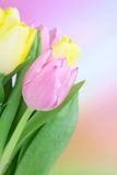 美丽的bouqet郁金香 免版税图库摄影
