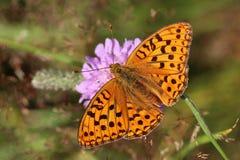 美丽的buttefly Argynnis aglaja 免版税库存照片