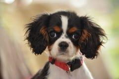 美丽的Caviller国王查尔斯Puppy 库存图片