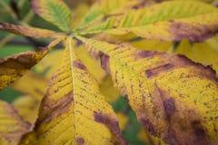 美丽的chesnut树的季节与秋叶的 自然后面 免版税图库摄影