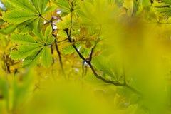 美丽的chesnut树的季节与秋叶的 自然后面 库存图片
