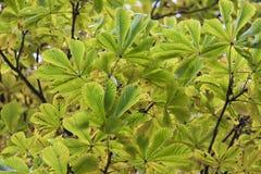 美丽的chesnut树的季节与秋叶的 自然后面 免版税库存图片