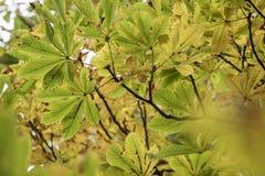 美丽的chesnut树的季节与秋叶的 自然后面 图库摄影