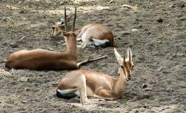 美丽的Chinkara或印度瞪羚休息 免版税库存照片