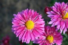 美丽的chrysanthemas 库存图片