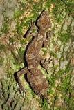 美丽的cornutus壁虎leaftail saltuarius 图库摄影