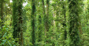 美丽的dorrigo遗产雨林世界 免版税库存图片