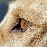 美丽的galgo podenco混合狗 免版税库存图片