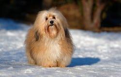 美丽的havanese狗在一个多雪的公园站立 免版税库存图片