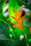 美丽的heliconia花在庭院里 图库摄影