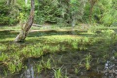 美丽的hoh沼泽国家公园照片沼泽 免版税库存照片