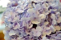 美丽的Hydiangea蓝色,紫色 库存照片