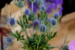 美丽的Hydiangea蓝色,紫色 免版税库存图片
