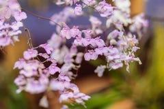 美丽的Ionopsis兰花,紫色兰花或者Ionopsis paniculata 免版税库存图片