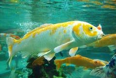 美丽的koi在水中 免版税图库摄影