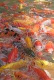 美丽的koi鱼在鱼池 免版税库存图片