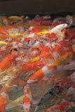 美丽的koi鱼在鱼池 免版税库存照片