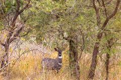 美丽的kudu画象在Meru灌木的  肯尼亚,非洲 免版税库存照片
