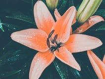美丽的lilly花 免版税图库摄影