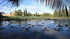 美丽的Lotus湖 影视素材