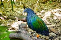 美丽的nicobar鸽子鸟在森林里 库存图片