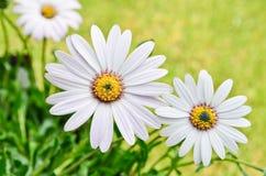 美丽的Osteospermum雏菊花 库存照片