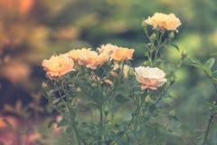 美丽的polyantha上升了-神仙玫瑰被弄脏的背景 库存照片