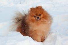美丽的pomeranian小狗在白色雪站立 宠物 免版税库存图片