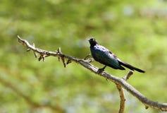 美丽的Rupells长尾的椋鸟科 库存图片
