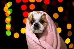 美丽的shih慈济狗在桃红色毛巾wraped 免版税库存照片