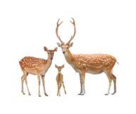 美丽的sika鹿 图库摄影