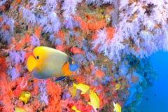 美丽的softcoral和蓝色面对的神仙鱼 库存照片