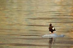 美丽的Steller海鹰, Haliaeetus pelagicus,飞行的鸷,与海水,北海道,日本 库存照片
