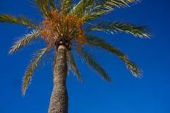 美丽的storng棕榈树 库存图片