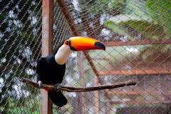 美丽的Toucan在南美 库存图片