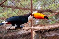 美丽的Toucan在南美 免版税库存照片