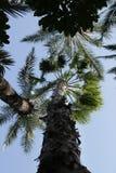 美丽的Washingtonia Filifera在埃尔切,西班牙 免版税库存照片