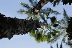 美丽的Washingtonia Filifera在埃尔切,西班牙 库存图片