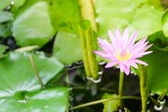 美丽的waterlily莲花由富有的col恭维 免版税库存图片