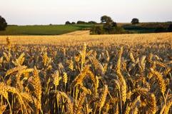 美丽的Wheat.Sunset 图库摄影
