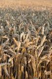 美丽的Wheat.Sunset 免版税库存照片