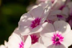 美丽砰花卉生长在庭院里 充满活力的夏天风景 库存照片