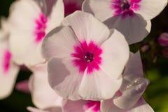 美丽砰花卉生长在庭院里 充满活力的夏天风景 图库摄影