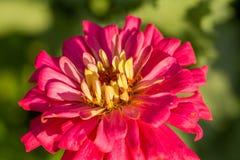 美丽砰花卉生长在庭院里 充满活力的夏天风景 免版税库存图片