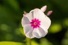 美丽砰花卉生长在庭院里 充满活力的夏天风景 免版税库存照片