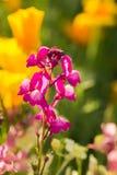美丽砰花卉生长在庭院里 充满活力的夏天风景 免版税图库摄影