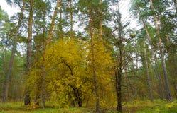 美丽秋天森林一个黄色树在杉木森林里 免版税库存图片