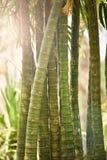 美丽竹的树干 免版税库存照片