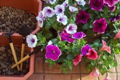 美丽紫色,白色和喇叭花珊瑚,在阳台的花箱子在一温暖的好日子 库存照片