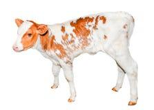 美丽红色和白色察觉了在白色隔绝的小牛 免版税库存照片